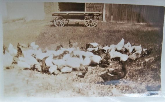 Photo of their fowl by specialoftheweek