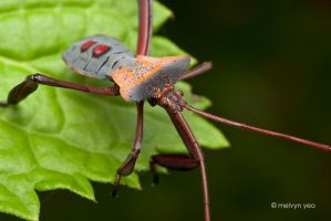 Leaf Footed Bug by melvynyeo