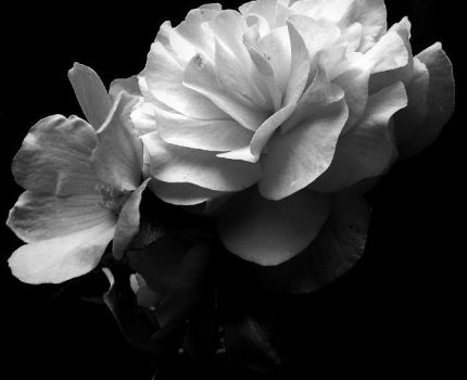 Black and white rose by 1866