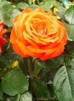 Orange Rose 140 by Eolhin