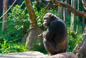 chimp32 by redbeard31