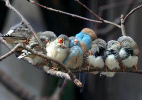 sleeping accentors by CuUuTe