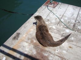 Sea Otter 06 by Treeclimber-Stock