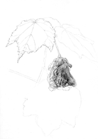 Abutilon sketch 1 by ChristieNewman
