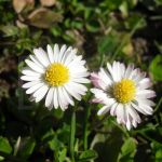 DaisyDuo by si-n