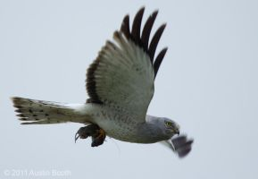Northern Harrier and Mouse by austinboothphoto