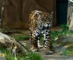 Jaguar by Martina-WW