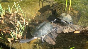 Lazy Long-necked Turtles by JMCV29
