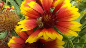 Blanket Flower With A Bee by mc1964