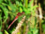Autumn Meadowhawk by AppleBlossomGirl