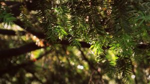 Pine needles and sunshine by Hedwigs-art