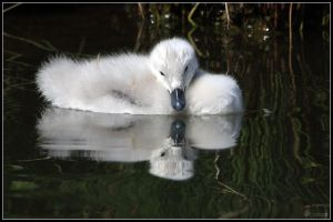 Black-necked Swan Cygnet by cycoze