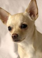 Chihuahua Portrait by Impatience