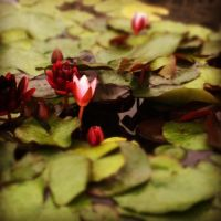 Red and Pink Waterlily by DarlingChristie
