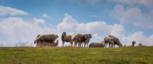 Sheep Austria 2 UWHD 21:9 2560x1080 Wallpaper by aradilon