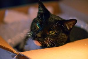 Portrait of a cat who loves cartons 2 by NB-Photo