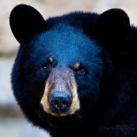 Black Bear Portrait by ST77