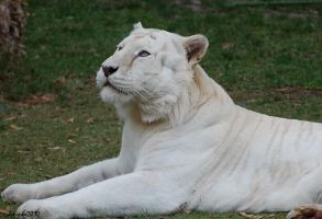 White tigers 02 by DanielleMiner