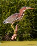 Green Heron by EWilloughby