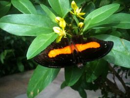 Black And Orange Butterfly by SteamPixy