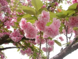 Pretty Pink Blossoms by Scribbabbles
