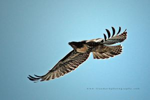Hawk 01 by andras120