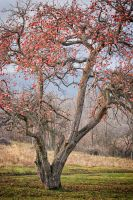 Apple tree by Avalong