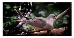 Mourning Dove by richardcgreen