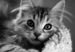 BW Kitten no. 4 by Mischi3vo