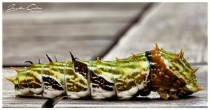 Citrus Caterpillar 2 by jaydoncabe