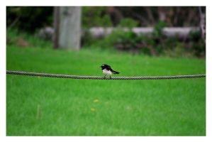 Mr. Wagtail. by giney-kill