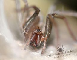 Female Tegenaria atrica in her web by TheFunnySpider
