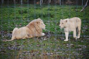 White Lion Couple by NicamShilova