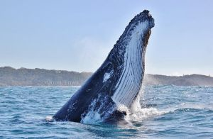 Humpback Headslapping by Oracle88