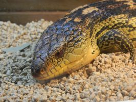 Blue Tongue Skink 002 - HB593200 by hb593200