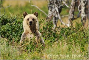 Blonde Grizz by tourofnature
