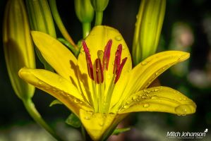 Macro of Lily HDR by mjohanson