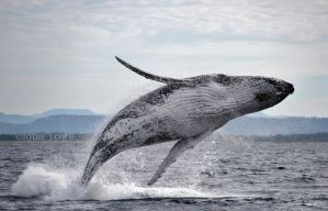 Humpback Whale Breaching by Oracle88