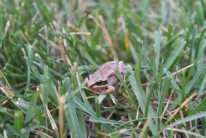 Wood Frog by tdredington