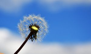 Dandelion by Blue-Norway