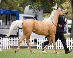 STOCK - TotR Arabians 2013-105 by fillyrox