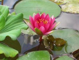 water lily flower 1 by meihua-stock