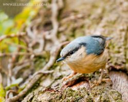 Nuthatch by ERB20