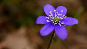 Blue Anemone by francis1ari