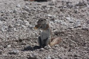 Ground Squirrel cookie by DoWnHIller
