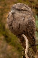 Tawny Frogmouth by DanielleMiner