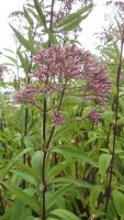 Eupatorium purpureum by Bwabbit