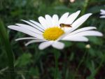 Little Hover Fly by AGlimpseOfMe
