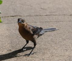 Grackle Stock by JSF1