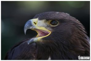 Golden Eagle, Portrait by Sillsche